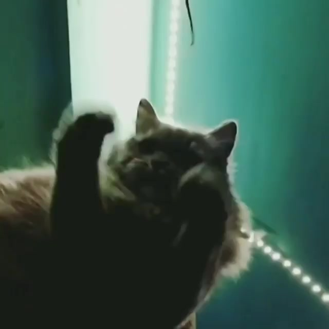 We all need TASKS to make our existence consequential, full of pithy.  #catsofinstagram #persiancats #cats  #boomerang #catboomerang #catstagram #cats_of_instagram #cat #catlover #cattreehouse #treehouse #earphones #wire #game #catgames #lights #bedroom #home #midnight